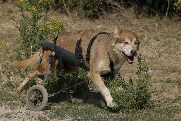Balto: el perro al que un disparo dio la salida en la carrera de su vida