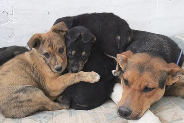 El Refugio rescata en Campo de Criptana a Elsa Patukis y sus cinco cachorros.