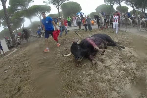 El Refugio denuncia al autor de la lanzada mortal del Toro de la Vega y al alcalde de Tordesillas por maltrato animal.