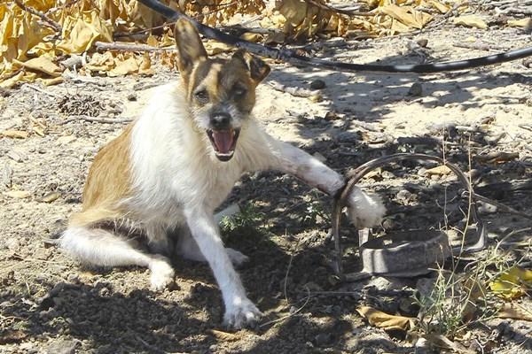 El Refugio acusa a cazador de Alicante por presunto uso ilegal de cepos de caza.
