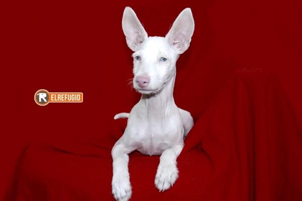 Visvy, el podenco albino que hipnotiza a quien lo mira